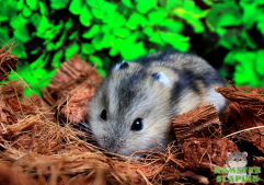 hamsterscaping kokos